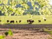 cows.jpe