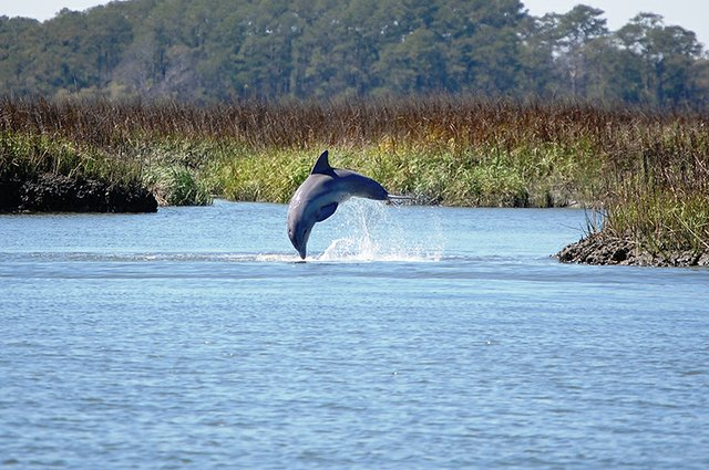 MPB-Lifestyle-May-River-Dolphin-Jumping-800x532.jpg