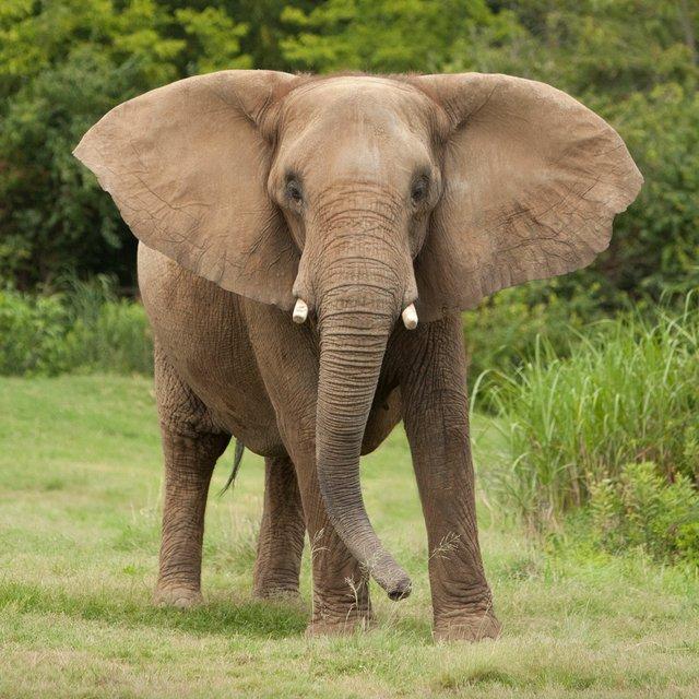 African-Elephant---2012---Amiee-Stubbs-(26).jpg
